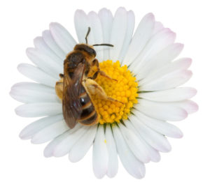 Bee on a flower representing recruitment candidate attraction